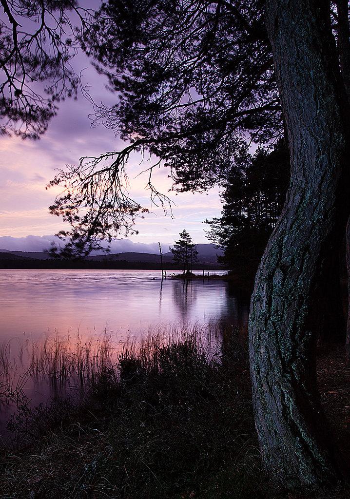 Dancing Pine