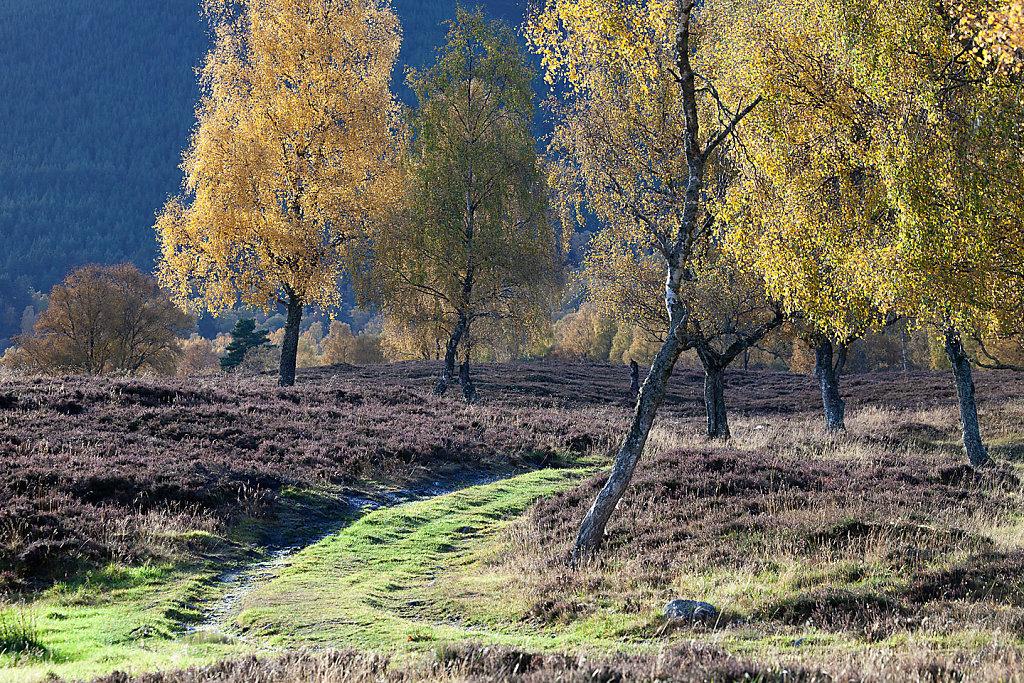 Golden birch road