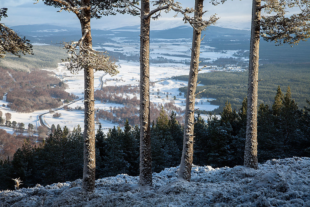 Foursome pine winter